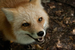 Fox 4 by lilmermaid89