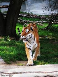 El Tigre by toosexyforcontacts