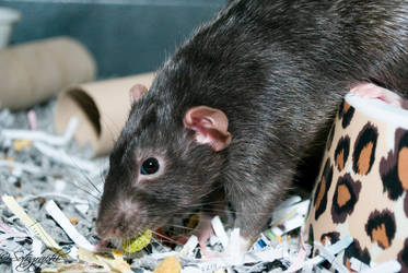 Rattus by Sotographi
