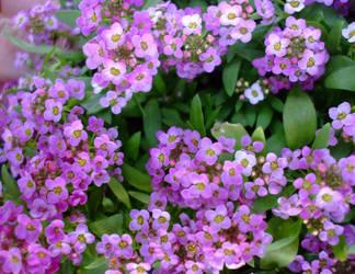April flowers 3 by EruwaedhielElleth