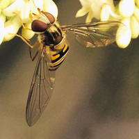 Little Yellow Mimicry/Hoverfly by sockhiddenunderarook