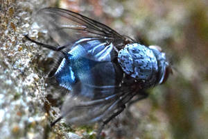 Little Blue Fly 6.0 by sockhiddenunderarook