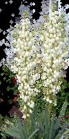 Blooming Yucca by LilipilySpirit