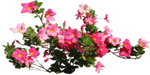 Pink Allamandra by LilipilySpirit