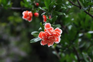 Pomegranate by smoke-dymok