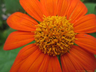 Mexican Sunflower ~ Tithonia by stardrifting