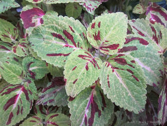 Green and Purple Coleus by stardrifting