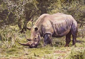 Grazing White Rhino by WillemSvdMerwe