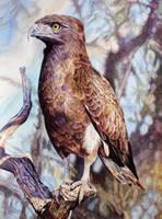 Brown Snake Eagle by WillemSvdMerwe