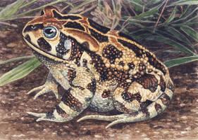 Western Leopard Toad by WillemSvdMerwe