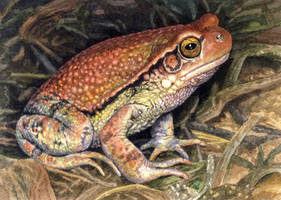 African Red Toad by WillemSvdMerwe