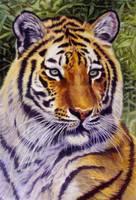 Tigress by WillemSvdMerwe