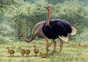 Ostrich family by WillemSvdMerwe