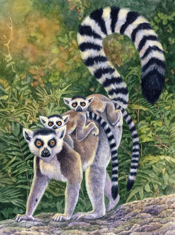 Ring-tailed Lemurs by WillemSvdMerwe
