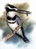 Pied Kingfisher by WillemSvdMerwe