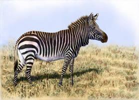 Cape Mountain Zebra by WillemSvdMerwe