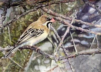 Scalyfeathered Finch by WillemSvdMerwe
