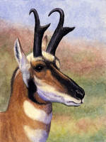 Pronghorn by WillemSvdMerwe