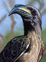 African Grey Hornbill by WillemSvdMerwe