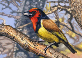 Black-Collared Barbet by WillemSvdMerwe