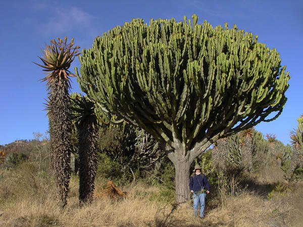 Euphorbia ingens by WillemSvdMerwe