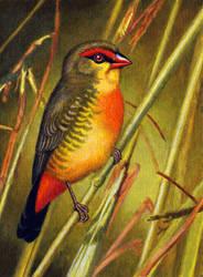 Orange-breasted Waxbill by WillemSvdMerwe