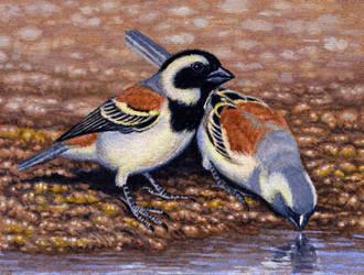Cape Sparrows by WillemSvdMerwe