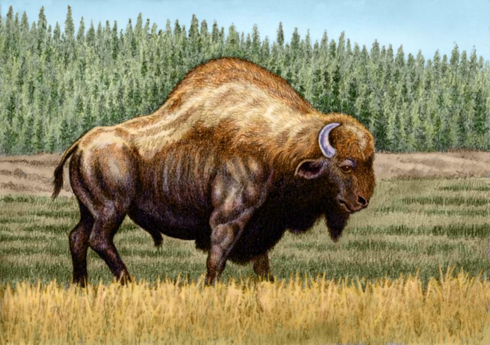 Bison antiquus by WillemSvdMerwe