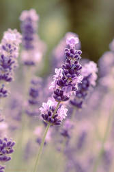 Lavender Dream by aniavita
