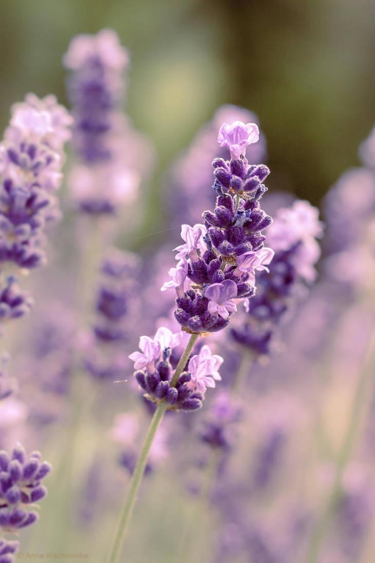 Lavender Dream by aniavita