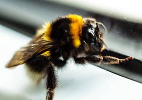 bumblebee - bombus terrestris by InV4d3r