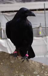 Raven 04 by NenjasStock