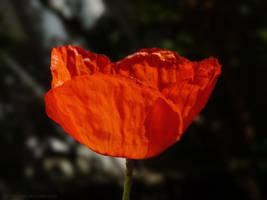 Coquelicot I by AntiMilo