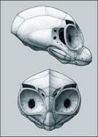 Crania by eorhythm