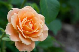 Rose Remy Martin by Yuumitan