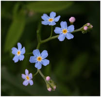 -Forget Me Not- by xuvi