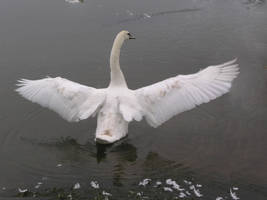 swimming swan stock 26 by dark-dragon-stock