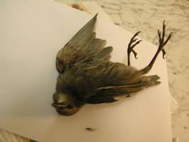dead bird stock 37 by dark-dragon-stock