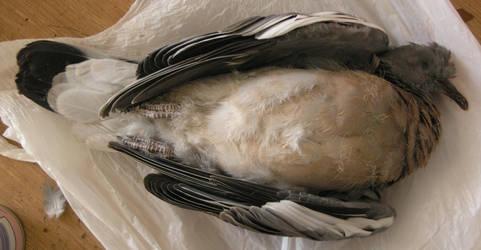 dead pigeon stock 33 by dark-dragon-stock