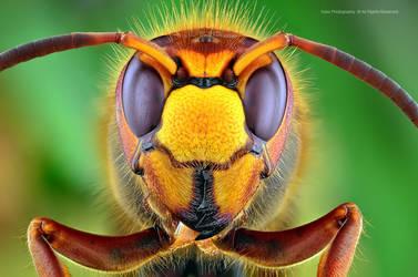 Hornet. by irassMakroFotografie