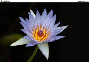 Stock-Water Lily 2 by montygm