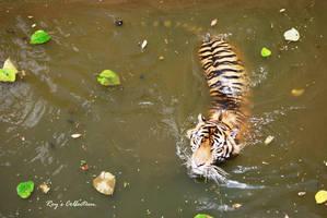 Sumatran Tiger by RoyWicaksono