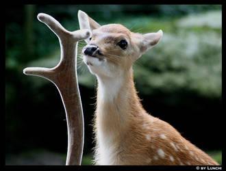 Deer calf by Lunchi