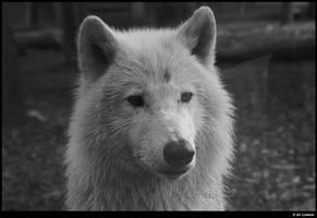B-W Wolf by Lunchi
