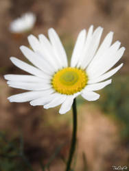Photo22. Camomile by TheSofN