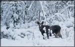 Winter Moose by Wodenswolf