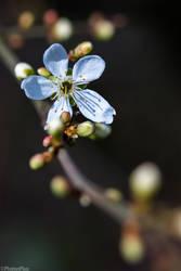 Prunus cerasifera by RaumKraehe