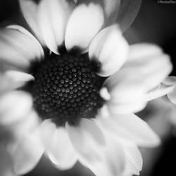 blossom by RaumKraehe
