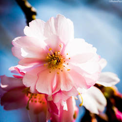 Cherry Blossom 2 by RaumKraehe
