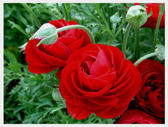 Red by Waterlilynl